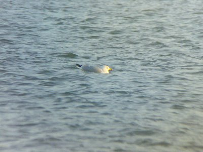 Possible Caspian Gull