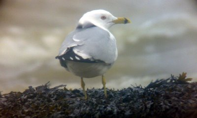 Ring-billed Gull, Westcliff-on-sea