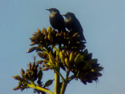 Spotless Starlings