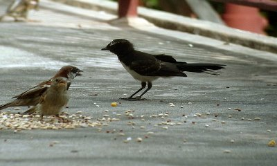 Juvenile Willy Wagtail